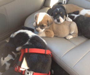 Darcy and pups on their way to safety after being rescued!